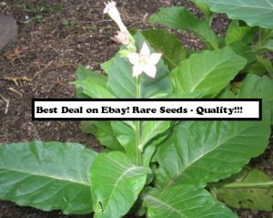 50 Southern Beauty TOBACCO Seeds Pipe Blends Rare Plant Nicotiana Tabacum Fresh