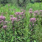 JOE PYE WEED herb 500+ seeds Eupatorium Maculatum Draw Hummingbird Butterfly
