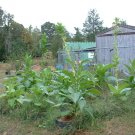 50 One Sucker TOBACCO Seeds Rare Plant Nicotiana Tabacum Fresh Plug Filler