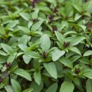 300 Basil Siam Queen Seeds Sweet Thai ~ (Ocimum basilicum)
