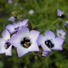 Bird's Eye Gilia Tricolor 400 Seeds Lavender, Pink, White Petals