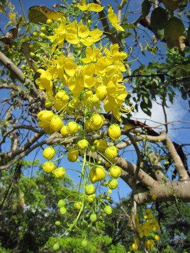 100 Golden Shower Seeds Tree Yellow Cassia Fistula Flower Bactyrilobium fistula