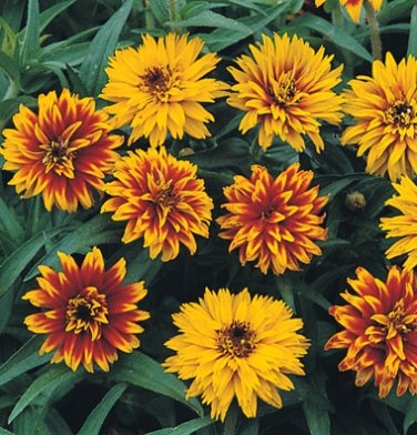 20 Old Mexico (Zinnia haageana) Seeds bi-color blooms~ Mahogany and Aztec gold