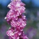 50 Larkspur Seeds Sublime Dark Pink Lilac -Consolida Ambigua Breathtaking Flower
