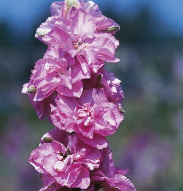 50 Larkspur Seeds Sublime Dark Pink Lilac -Consolida Ambigua Breathtaking Flower