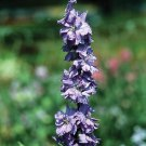 50 Larkspur Seeds Sublime Lilac (Consolida Ambigua) Breathtaking Purple Flower