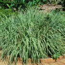 200 Cymbopogon Flexuosus (East Indian Lemon Grass) Seeds