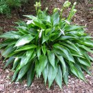 Hosta 'Leather Sheen' - live plant division