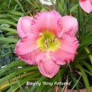 Hemerocallis (daylily) 'Rosy Returns' - live plant division