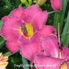 Hemerocallis (daylily) 'Miss Quinn's World' - live plant division