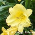 Hemerocallis (daylily) 'Happy Returns' - live plant division