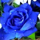 100 blue rose seeds