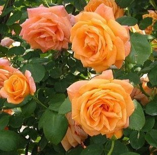 100 climbing orange rose seeds