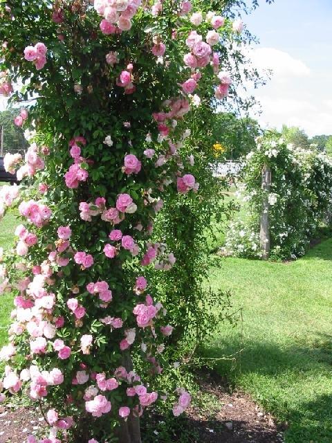 100 climbing pink rose seeds