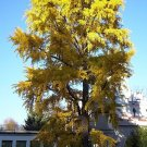20 ginkgo tree seeds
