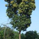 800g mango seeds