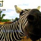 """VAN007201109 - Zebra - 28x35cm (11x14"""")"""
