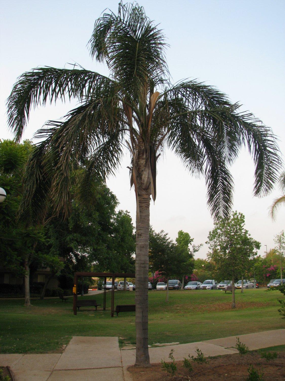 Queen palm seeds~Syagruss Romanzoffiana 10 seeds