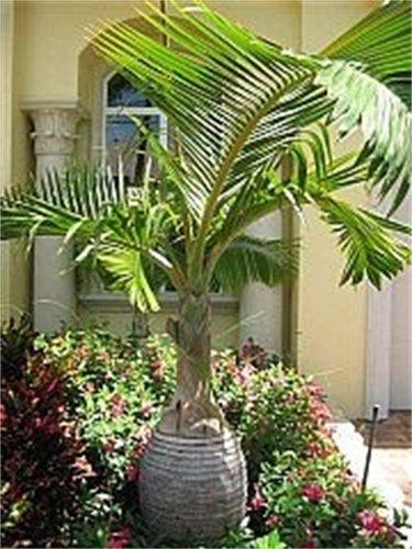 Bottle Palm Tree Hyphorbe Lagenicaulis - 6 Seeds