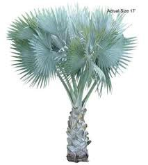 bismarkia nobilis silver blue palm tree 10 seeds Drought and cold tolerant