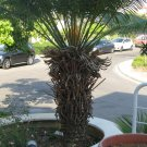 Cycas Thouarsii Tree - rare species 1 seedling