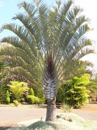 Dypsis decaryi - Powder BLUE TRIANGLE Palm Tree 20 seeds