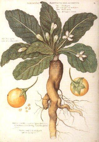 Mandragora Autumnalis Devil's Apple seeds