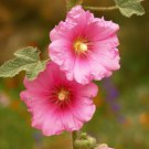 Alcea setosa Bristly Hollyhock Striking beauty wild tall flower tiny seeds