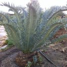 Encephalartos Horridus Cycad Cold Hardy Rare 1 seed