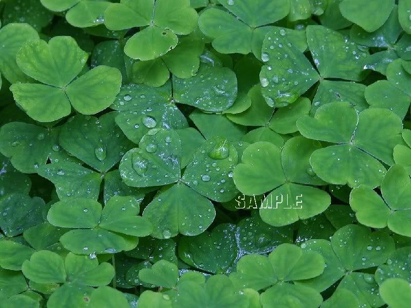 IRELAND IRISH CLOVERS SHAMROCKS PHOTO CANVAS PRINT-BIG