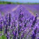 Activated Lavender Essential Oil 2oz