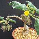 Uncarina Roesliana 5 seeds rare succulent plant caudiciform bonsai
