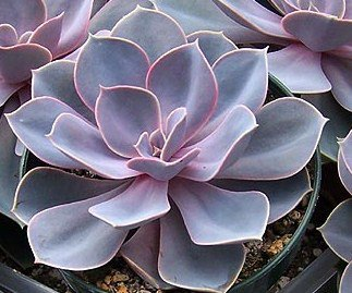 echeveria perle von nurnberg  rare succulent plant hen and chickens cactus cacti