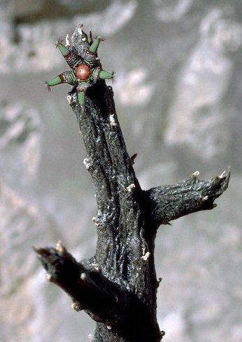 Rhytidocaulon macrolobum rare cacti cactus seed 5 SEEDS
