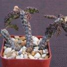 """Euphorbia decaryi rare succulent cactus plant agave #2"""""""