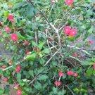 """Euphorbia Geroldii rare succulent plant cactus cacti 4"""""""