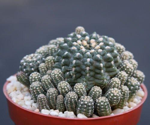 Gymnocalycium andreae rare cluster cacti cactus plant 4