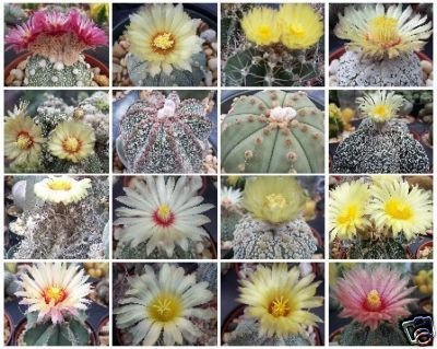 Exotic Cactus Collection Astrophytum Variety MIX @@ rare cacti seed lot 50 SEEDS