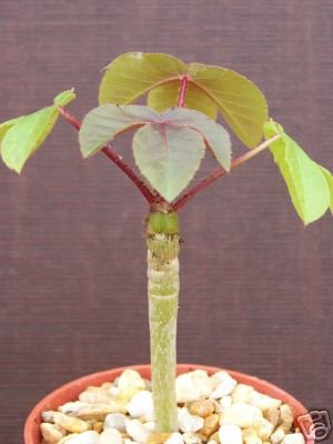 Jatropha gossypiifolia rare succulent plant cacti 4 pot