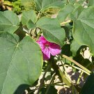 Uncarina stellulifera caudex @ rare succulents 10 SEEDS