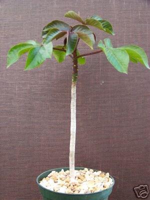 Jatropha gossypiifolia rare succulent plant cacti 6 pot