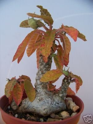 Dorstenia Foetida @J@ rare caudex bonsai succulents exotic cactus seed 100 SEEDS