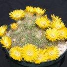 """Parodia aureispina rare succulent plant cacti cactus 4"""""""