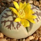 Lithops dorotheae living stone succulent seed 100 SEEDS