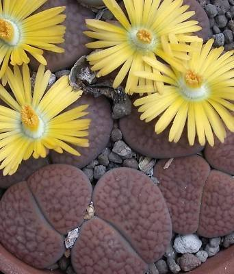 Lithops hookeri @ living stone succulent seed 100 SEEDS