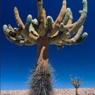 Browningia candelaris, cacti rare cactus seed 100 SEEDS