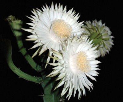 Acanthocereus tetragonus rare florida native cactus plant cacti stock grafting 4