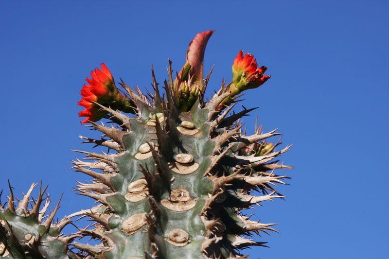 Euphorbia Viguieri, exotic rare succulent seed 20 seeds