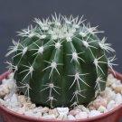 """Melocactus sp. de SARDA @@ exotic cacti plant cactus 4"""""""