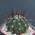 """Melocactus longispinus @J@ exotic cacti plant cactus 4"""""""